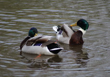 Two Wild duck. Males cleaning their feathers Royalty Free Stock Photography