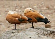 Two wild ducks Stock Photos