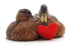 Two wild ducks. Royalty Free Stock Photography
