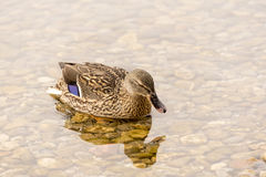 Two Wild Ducks. Flying Over a Lake Royalty Free Stock Images