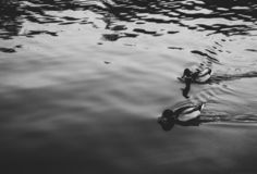 Two wild ducks floating on the lake royalty free stock photo