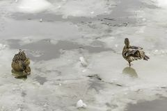 Two wild ducks on an ice floe. Photo for the site about birds, nature, seasons, the Arctic Royalty Free Stock Photos