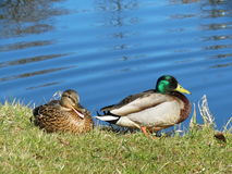 Two wild ducks Stock Images