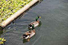 Two Wild Ducks in lake Royalty Free Stock Images