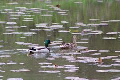Two Wild Ducks. These Mallard Ducks, or Wild Duck, is quite fond of the pond and creek I live by Stock Photography