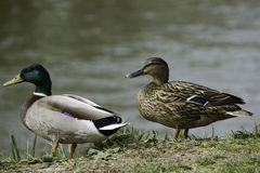Two wild ducks Royalty Free Stock Photo