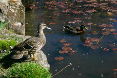 Two wild ducks on a pond Stock Images