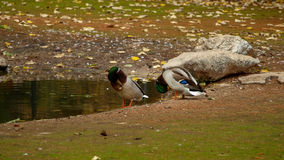 Two wild ducks preparing for cleaning. Two wild ducks Anas platyrhynchos preparing for cleaning in a small lake Royalty Free Stock Images
