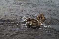 Two wild ducks on the river are fighting stock photos