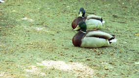 Two wild ducks sitting on the ground. Sunny day stock video footage