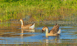 Two wild ducks  swim Royalty Free Stock Photography