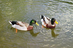 Two wild ducks Royalty Free Stock Images