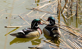 Two wild ducks swimming in the pond.  Royalty Free Stock Photos