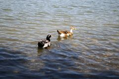 Two wild ducks swimming in a pond. Two mallards swimming in a lake on a sunny weather Stock Images