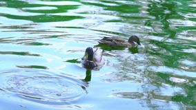 Two wild ducks swimming in a pond, slow motion. Two wild ducks swimming in a pond, ducks on a lake, slow motion stock video