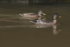 Two wild ducks swimming Stock Images