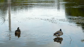 Two wild ducks swimming in the river. Two wild male ducks sit in water stock video