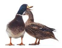 Two wild ducks. Royalty Free Stock Photos