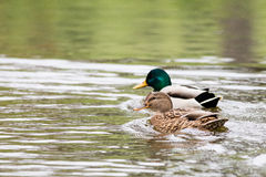 Two wild ducks on the water Royalty Free Stock Images