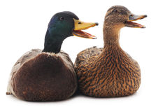 Two wild ducks. Two wild ducks on a white background Royalty Free Stock Photo