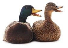 Two wild ducks. Royalty Free Stock Photo