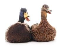Two wild ducks. Stock Photos