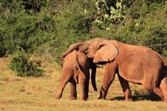 Two wild elephants playing Royalty Free Stock Photography