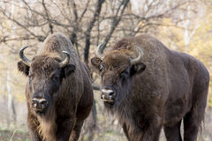 Two wild European bison (Bison bonasus) in autumn deciduous fore Stock Image