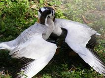 Two wild exotic male geese fighting over a female goose. Two wild exotic male geese locked together at the neck while competing for the affections of a female Royalty Free Stock Photo
