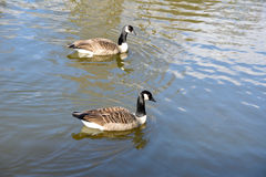 two wild geese on the lake Royalty Free Stock Image