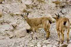 Two wild goats in Ein Gedi Royalty Free Stock Photos