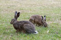 Two wild hares in a park stock image