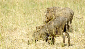 Two wild hogs Stock Images