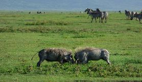 Wild hogs fighting. Two wild hogs fighting on the savannah Stock Image