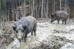 Two wild hogs in forest Royalty Free Stock Photography