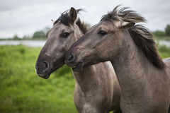Two wild horses Stock Photo