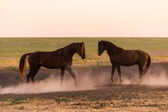 Two wild horses in dust stock photo