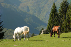 Two wild horses eating grass in the mountains Stock Image
