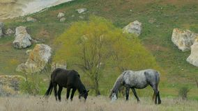Two Wild Horses Grazing At Pasture. In the frame there are two horses of black and bay color standing on pasture and eating fresh grass near tree and rocks stock video footage