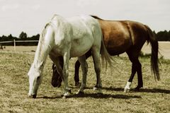 Two wild horses on meadow field Royalty Free Stock Photography
