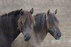 Two wild horses Stock Photography