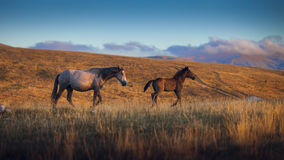Two wild horses on the mountain, jellow grass and blue sky Stock Image