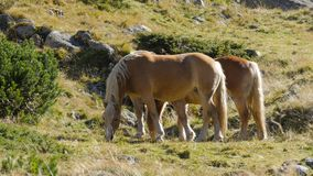 Two Wild Horses in mountain landscape grass stock footage