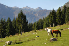 Two wild horses in the mountains Stock Photos