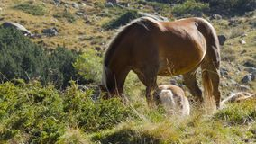 Two Wild Horses on rocky meadow stock video footage