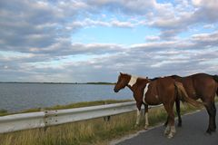Two Wild Horses Standing on the Road. Beautiful wild horses standing on the road next to an ocean bay Stock Photos