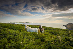 Two wild horses. And sunset - England Stock Images