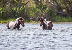 Two wild horses swimming channel. Three wild horses swimming channel at Assateague Island, Maryland Royalty Free Stock Photography