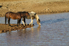 Two Wild Horses at a Water Hole Stock Photography