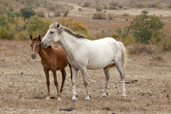 Two wild horses Royalty Free Stock Images